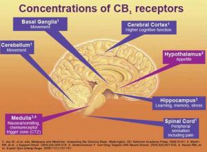 CB1 receptori