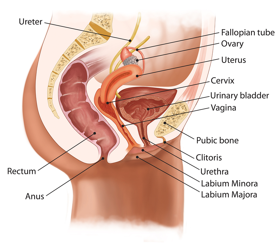 medical illustration for the cross-section of female urinary system