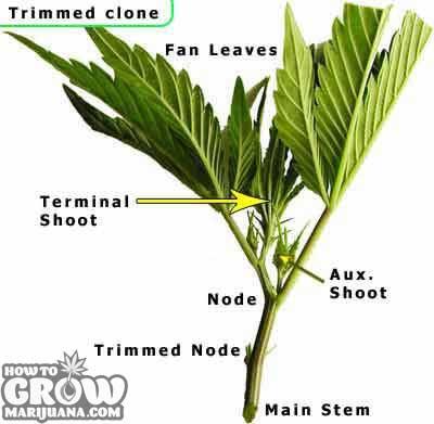 Clone-cutting-marijuana