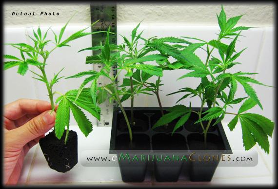 marijuana-clones