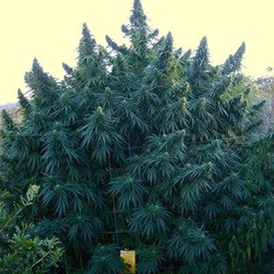 happy-oudoor-marijuana-seeds